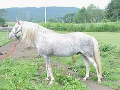 Virginia Highlander - William Pugh started with an Arabian / Tennessee Walker cross mare who was pregnant by a Welsh pony. From this colt he established a strict breeding program using the blood of Arabian, American Saddlebred, Hackney, Morgan and more Welsh pony.