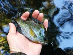 A nice sized Panfish on a unknown river in Florida