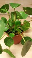 Van Stekkie tot Plant: Pannenkoekenplant - Pilea Peperomioides