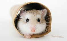 Roborovski hamster love to get cozy in a toilet paper roll. They are cheap and always available. Robo Dwarf Hamsters, Robo Hamster, Hamster Care, Cute Hamsters, Funny Animal Memes, Funny Animals, Cute Animals, Hamster Pics, Hamster Ideas
