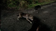 wolfblood lobos - Pesquisa Google