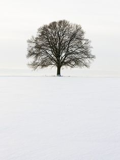 Old oak tree on a field in winter