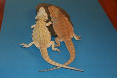 Kelowna Bearded Dragons, Baby Bearded Dragons for Sale & how to care for a Bearded Dragon. Bearded Dragon, Dragons, Animals, Animales, Animaux, Animal, Animais, Kites