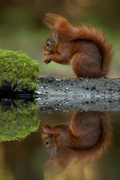 Reflection of a Squirrel - Tom Kruissink