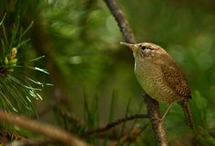 House Wren photographed at Chambers Bay WA by Gery Weisbrodt http://pinterest.com/gjconstructs/