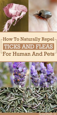 How To Naturally Repel Ticks And Fleas For Humans and Pets