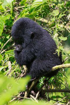 Why not?: Bwindi National Park: I penetrated the impenetrabl...