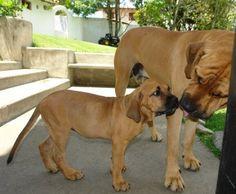 I miss my dogs! FILA BRASILERO/BRAZILIAN GUARDDOG