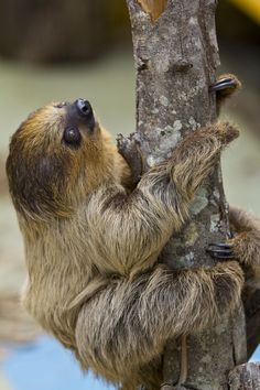 Two-toed Sloth. There are two-toed sloths and three-toed sloths. See https://en.wikipedia.org/wiki/Two-toed_sloth and https://en.wikipedia.org/wiki/Three-toed_sloth