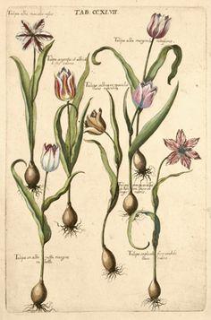 Michael Valentini - Tulips