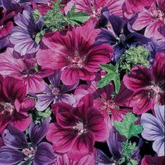 'Mystic Merlin' grows readily in full sun to light shade and nearly any type of soil, and is easy to start from seed. Mystic Merlin is a Hollyhock Mallow with purple, mauve, and blue flowers. You will love its easy-grow, no-care habit, and its blossoms will fill your garden and vases with brilliant color.