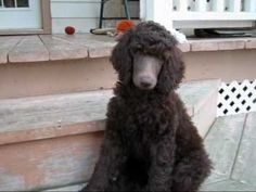 ▶ Beaucaniche Standard Poodle Puppies (10 weeks old) - YouTube