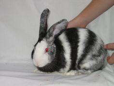 Harlequin Rabbit   Black Magpie - West Australian Rabbit Council Inc.