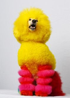 Poodles on Pinterest | Standard Poodles, Dog Grooming and Creative ...