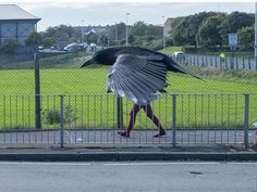 Squawk on by: What looks like an enormous, determined-looking crow on a power walk is actually a perfectly-timed photo taken by photographer Steve Black in Aberdeen Steve Black, Cool Pictures, Funny Pictures, Random Pictures, Perfectly Timed Photos, Epic Photos, Crazy Photos, Perfect Timing, Funny Fails