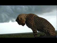 ▶ Cheetah falls in car! Masai Mara, Kenya, Safari - YouTube