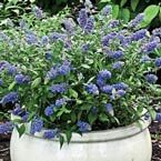 Blue Chip Butterfly Bush. Compact, 2-3ft. Full Sun, blooms early summer to mid fall potted 14.99 from Michigan Bulb