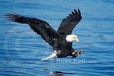 Bald Eagle flying catching fish photo