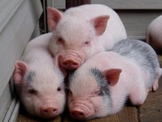 Pigs - Only the cutest animal on earth!! Exactly what I have been dreaming that's what I want