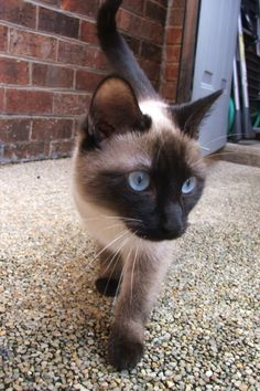 Latest Absolutely Free thai siamese cats Ideas Siamese felines would be better better known for their clean, streamlined physiques, steamy applications as w Siamese Kittens, Kittens Cutest, Cats And Kittens, Tabby Cats, Funny Kittens, White Kittens, Black Cats, Bengal Cats, I Love Cats