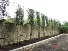 Pleaching begins on a Quercus ilex evergreen Oak Instant Hedges Suppliers and Growers of SemiMature and Mature Trees Shrubs and Instant Hedge