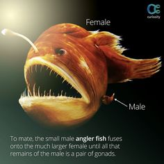 The bizarre mating ritual of the angler fish is just as bizarre as its startling looks. Learn more about this mysterious, deep-sea creature, including its impressive camouflaging skills: https://curiosity.com/video/true-facts-about-the-angler-fish-ze-frank/?utm_source=pinterest&utm_medium=social&utm_campaign=082714pin