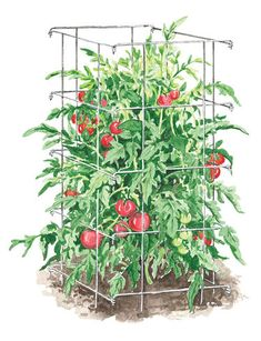 Love these tomato cages.  Sturdy, and they fold flat so they're not tumbling around the garage 7 months out of the year...