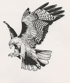 red tail hawk drawing - Google Search