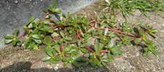 Heb jij dit onkruid in de tuin staan? Gooi het niet weg! - Pagina 2 van 3 - Tipchasers
