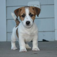 Flash - our new Jack Russell Terrier from DBF Round Hill VA
