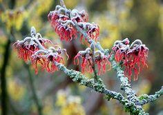 Blüten der Zaubernuss mit Raureif - Jahreszeiten - Galerie - Community
