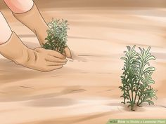 How to Divide a Lavender Plant. Many species of lavender are perennial plants, meaning they live for two or more years. These plants grow larger each spring and summer, and may eventually outgrow your garden. However, lavender is fragile. How To Propagate Lavender, Image Title, Propagation, Perennials, Spring, Outdoor Decor, Artwork, Plants, Gardens