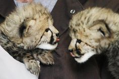 A one-month-old female cheetah cub, left, delivered via a rare caesarian section, and her brother, delivered naturally but then abandoned, lick off what's left of their meals after a feeding at the Na