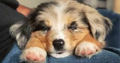 Take a look at our list of all the reasons why you definitely shouldn't get one of these dogs. (Definitely tongue-in-cheek. Aussie Shepherd, Australian Shepherd Puppies, Australian Shepherds, Gray Eyes, Cute Puppies, Animals, Animales, Animaux, Australian Shepherd Shedding