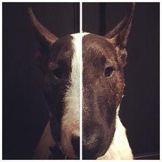 Repost: @rodrigo_bully : #bullterrierlife #bullterrierinstagram #home #bullterrierslover #bullterrierlove #bullterrierclub #bullterrierpics #bullterrieringles #bullterrierworld #bullterrierminiature #noperreras #adoptdontshop #adoptdontbuy #rescuedbully #rescuedog #rescuedogsofinstagram #doglife #milan #bully #ebt #thisislove #amorparasiempre #love #family #cute #instabull #home #famiglia #vosyyo