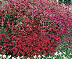 Dianthushese low-growing, dwarf plants make a splash in the landscape, with abundant flowers in a wide range of colors. Very effective when planted in large groupings, or used as accent in containers or window boxes. Prefers average to alkaline (sweet), well-drained soil. Companion Plants Lamb's Ear Blanket Flower Tickseed Details print shopping list share Common name  Dianthus Botanical name  Dianthus Zone  USDA 3 - 9 Don't know your zone? Find by map or by postal code. Bloom color  Mix…