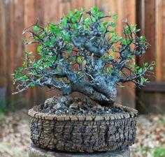 Bonsai (Puede servir de modelo para Jade