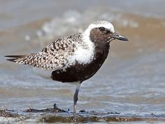 Black-bellied Plover (adult breeding)  A real beauty in breeding plumage.