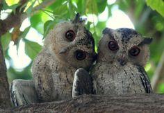 Beautiful photo of two Indian Scops Owls (Otus bakkamoena), Maharashtra, India. Photo by Jayant Atrey. Wildlife Safari, Owl Always Love You, Beautiful Owl, Wise Owl, Bengal Tiger, Baby Owls, Leopards, Pet Store, Bird Watching