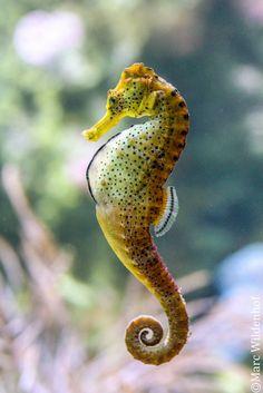Seahorse (by Marc Wildenhof) acuticos peaceful eyes Underwater Creatures, Underwater Life, Ocean Creatures, Beautiful Sea Creatures, Animals Beautiful, Water Animals, Animals And Pets, Animal Original, Beneath The Sea