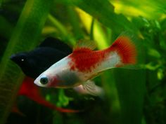 Red & White Platy ♂ | Flickr - Photo Sharing!