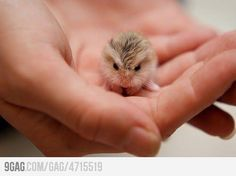baby hamsters are made for my pockets!