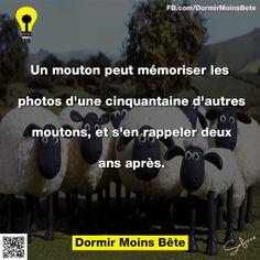 Un mouton peut mémoriser les photos d'une cinquantaine d'autres moutons, et s'en rappeler deux ans après.