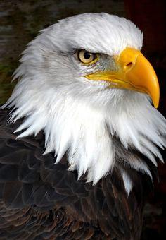 Águila Calva. Haliaeetus leucocephalus, origenario de América del Norte.
