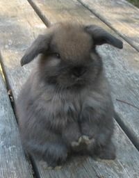 holland lop bunny-I must have one