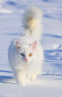 27444f5b61739d Turkish Van on the snow (photo by Murat Cacim) by cats kitten catsonweb  cute adorable funny sleepy animals nature kitty cutie ca