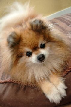 Sassy the Pomeranian