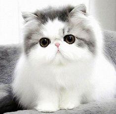 cute fluffy cat breeds