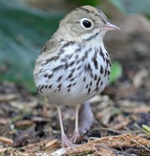 Ovenbird - Seiurus aurocapilla Members of this family abound in any Ohio woodland or brushy area during the spring and fall migration seasons. In spring their buzzlike songs (not warbling) fill the air with a delightful chorus. #wildohio #ohiobirds