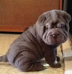 Rambo, 2mts chocolate Chinese shar pei